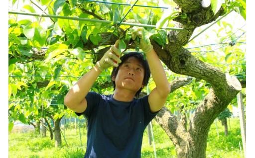 【農業】世界に誇れる梨産地へ!明和町の「梨」応援プロジェクト