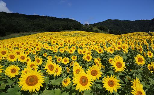 6三ノ倉高原の花畑づくり