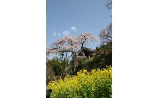 自然・環境保全に関する事業 『地蔵院のしだれ桜・玉川堤の桜の保全プロジェクト』目標金額:1,000,000円