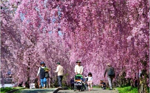 7日中線記念自転車歩行者道しだれ桜並木の観光地づくり
