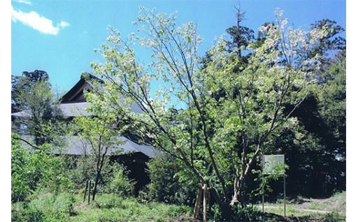 鎌足桜保護育成基金